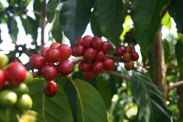 Kona Coffee Bean on Tree